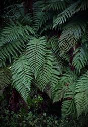 A fern in rain forest near FRANZ JOSHEP, New Zealand