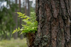 A fern (Latin: Polypodiopsida or Polypodiophyta). Flowerless plant that has feathery or leafy fronds growing on trunk of an old pine tree Emerald green surrounding. Fairy tale story.