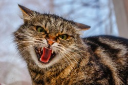 A ferocious, evil cat on the windowsill on the street. The cat looks maliciously, incredulously. An evil cat, hisses with an open mouth, shows teeth.