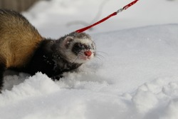 A ferret in the snow, a portrait. Close-up.