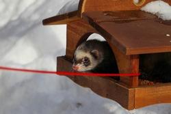 A ferret in the snow, a portrait, feeder, bird feeder,