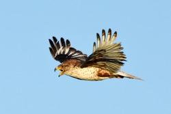 A Ferruginous Hawk calls as it flies over the Colorado prairie.