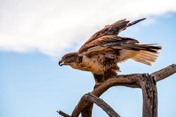 A Ferruginous Hawk perched
