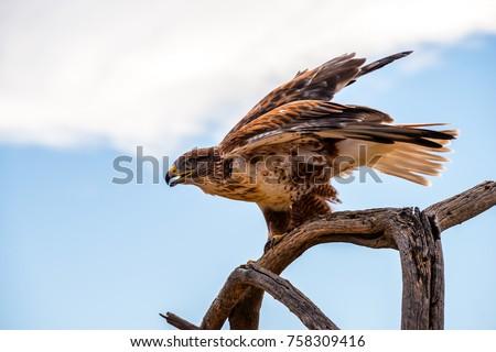 A Ferruginous Hawk perched - Shutterstock ID 758309416