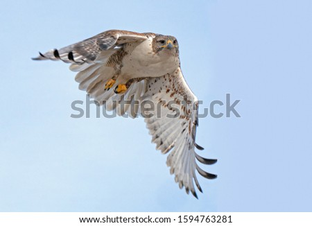 A ferruginous hawk taking a look.
