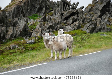 A few alerted sheep are standing between the asphalt road and jagged rocks.