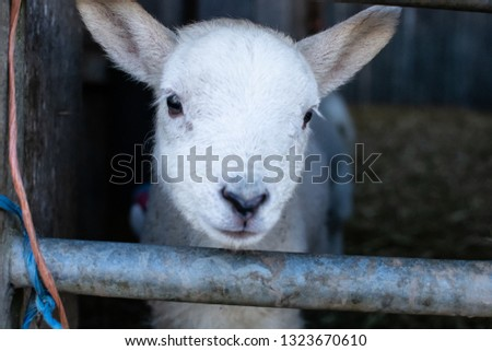 A few days old orphaned white lamb peers through the gate of the stable, innocent and gentle.  #1323670610