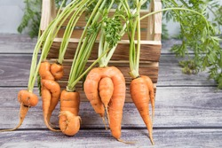 A few deformed, ugly carrot roots with a bizarre shape on the background of a wooden box. Horizontal orientation