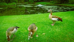 A Few Ducks On The Green Grass Pond Shore In The City Park