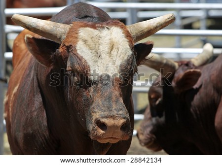 A few large bulls in a steel pen - agricultural, animal, rodeo, attitude image (shallow focus point on bulls head and face).