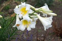 a few lis royal blanc flowers outdoor