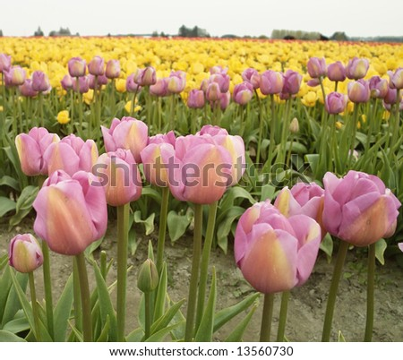 A few rows of blooming pink and yellow tulips (liliaceae tulipa) in a field during the annual Skagit Valley Tulip Festival.