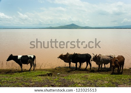 A few zebus and cows grazing on the shore of a river near Wolkite in Ethiopia