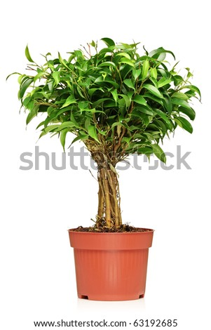 a ficus benjamin ficus benjamina natasja in a brown pot isolated on white background stock. Black Bedroom Furniture Sets. Home Design Ideas