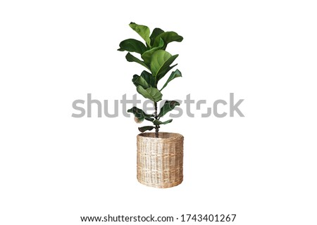 A Fiddle Leaf Fig or Ficus lyrata indoor potted plant with large, green, shiny leaves planted in a rattan basket. Popular air purifier plant for tropical minimal design. Isolated on white background Сток-фото ©