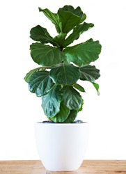 A Fiddle Leaf Fig or Ficus lyrata pot plant with large, green, shiny leaves planted in a white pot sitting on a light timber floor isolated on a bright, white background.