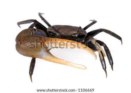 A fiddler crab on a white background raises his big claw at the viewer