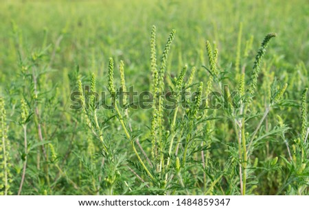 a field covered with Ambrosia trifida. A plant that causes many allergies #1484859347