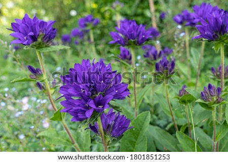 A field full of purple blooming clustered bellflower or Campanula glomerata in a beautiful garden near the village of Harkstede in Groningen Photo stock ©