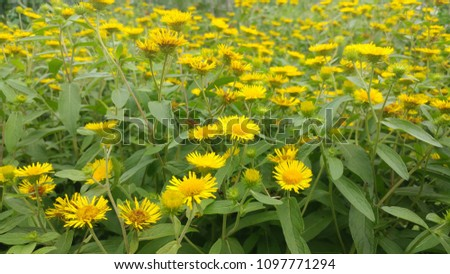 A field in full bloom Inula britannica