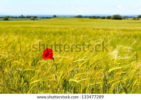 A field of barley with a single corn poppy in late summer. langeland, Denmark