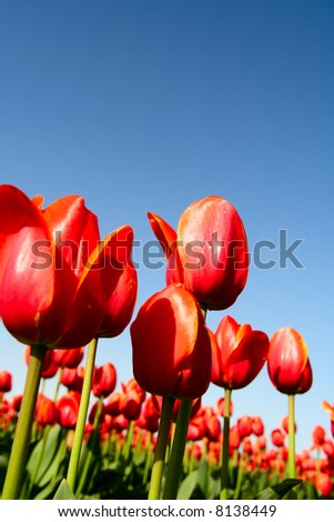 A field of beautiful red tulips shot from low angle