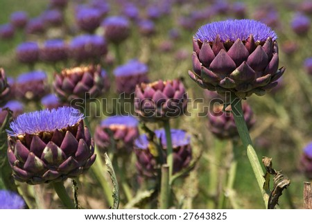 A field of bloomed artichokes