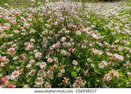 A field of blooming clover