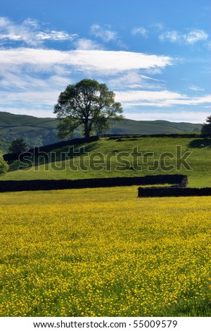 A field of Buttercups in Spring with a dry stone wall & tree in the middle distance