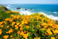 A field of California poppies and the Pacific ocean on the California coast near Mendocino.
