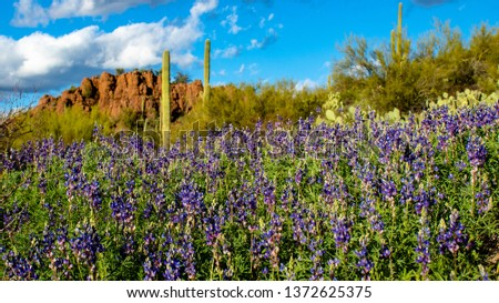 A field of colorful blue and purple lupine wildflowers in Saguaro National Park West. Green cactus and palo verde trees along with stone cliffs in the background near Picture Rocks. Tucson, Arizona.