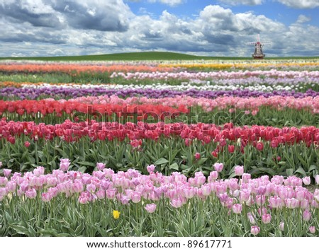 A Field Of Colorful Tulips Against A Blue Sky