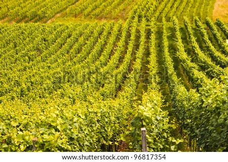 A field of cultivated vine plants standing in rows
