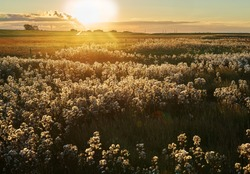 a field of faded seashore asters in the salt marshes of the Wadden Sea at Langwarder Groden (Germany) against a beautiful sunset in autumn