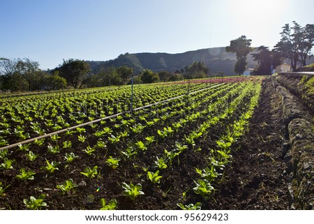 a field of green lettuce under the sun