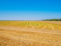 A field of mown wheat joins the horizon with a blue cloudless sky. Summer sunny day in the field.
