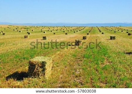 A field of newly cut and baled alfalfa or hay. - stock photo