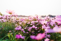 A field of pink starburst flowers with the light of the sunset