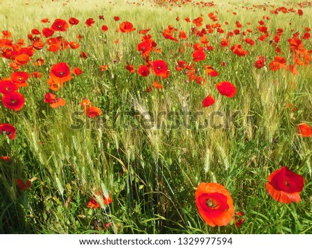 A field of red poppies. A picture that looks like a painting