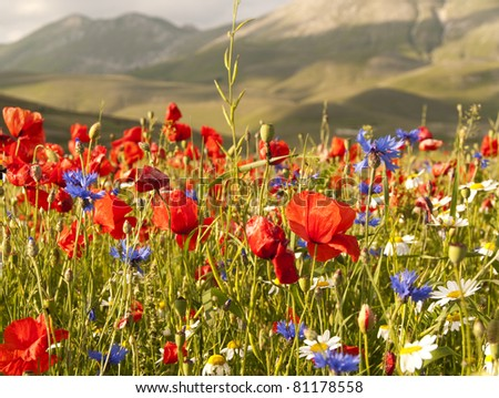 A field of red poppies and other wild flowers