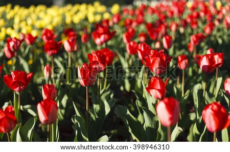 A field of red Tulips with some yellow tulips with a shallow depth of field and in a soft, dream-like focus