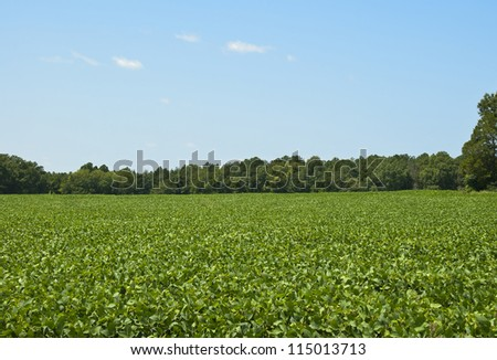 A field of Soybeans in South Carolina.
