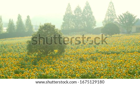 A field of sunflowers. At dawn, a farm of sunflowers. Foto stock ©