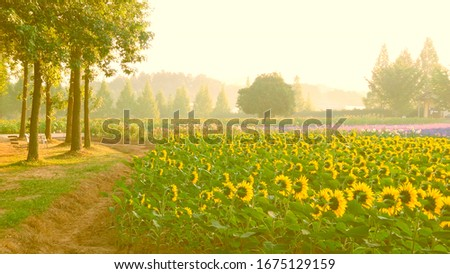 A field of sunflowers. At dawn, a farm of sunflowers. Left bench for rest. Foto stock ©