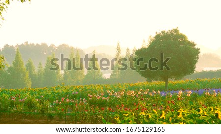 A field of sunflowers. At dawn, a farm of sunflowers. Violet and red flowers. Yellow sky. Foto stock ©