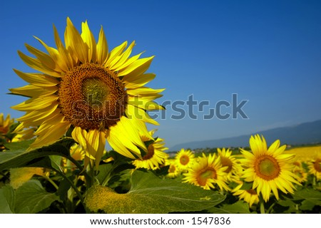 A field of sunflowers. Focus on the flower to the left, with a honeybee on it (a gleam in its eye) and space for text in the sky to the right. A distant mountain range can be seen beyond the flowers.