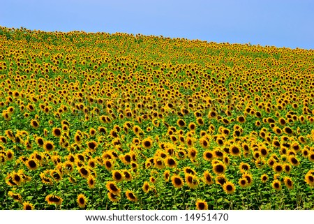 A field of sunflowers, in the south of France.