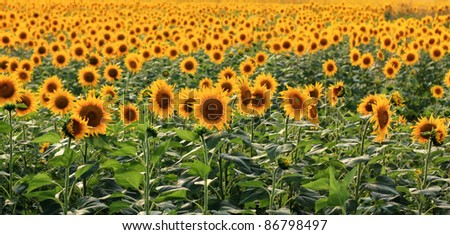A field of sunflowers in the south of Romania.