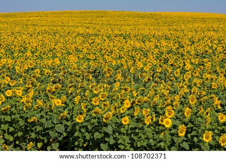 A field of sunflowers, in the south of Ukraine
