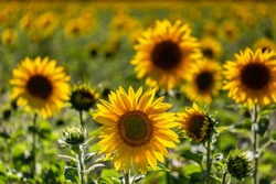 A field of sunflowers in the summer sunshine